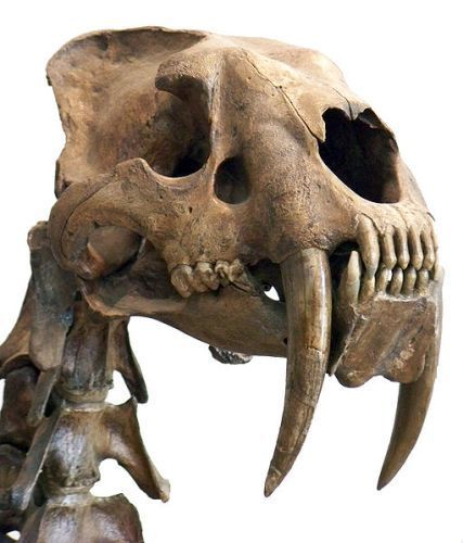 Saber Tooth Tigers pictures